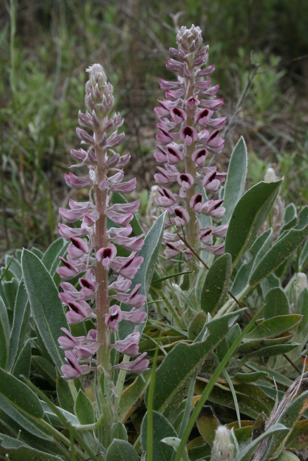 How to plant lupine seeds - Lady Lupine Lupinus Villosus