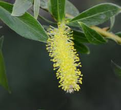 WILLOW - Salix vitellina