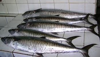 Tanigue (Spanish mackerel)