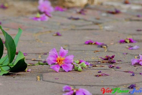 hoa bang lang
