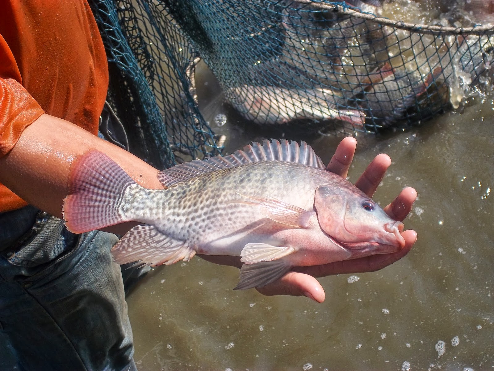 Eating tilapia is worse than eating bacon strange but for What do tilapia fish eat