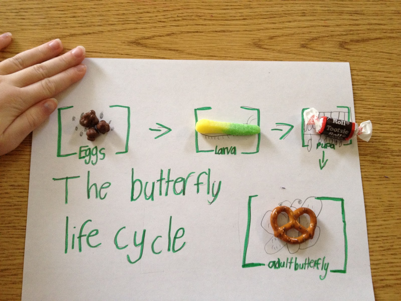 Owl butterfly life cycle - photo#3