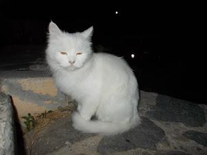 "The unbelievable docile looking  ""Big Cat"" of  "" Seremonı Cafe""."