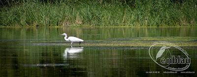 un martinet blanc buscant menjar al riu ebre