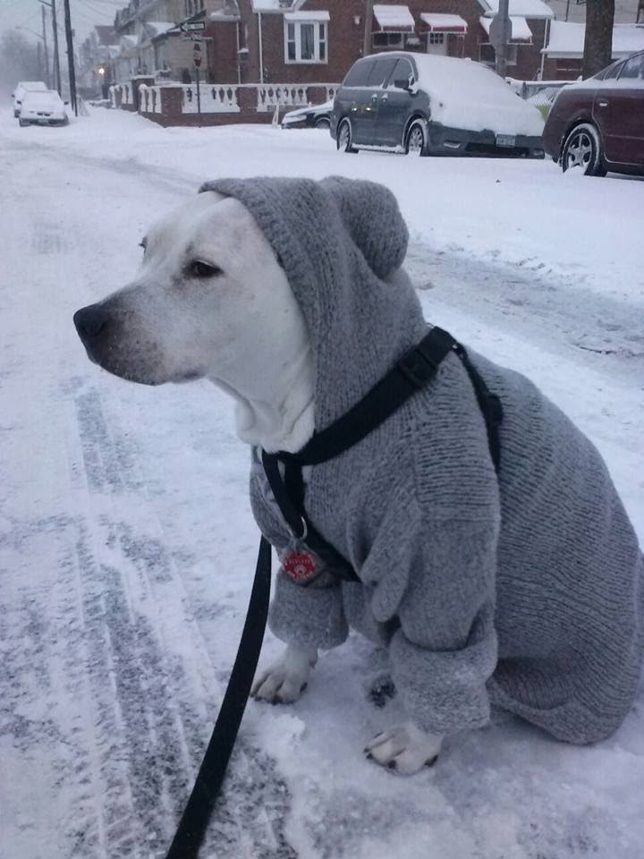 Cute dogs - part 4 (50 pics), dog pictures, pitbull wears sweater