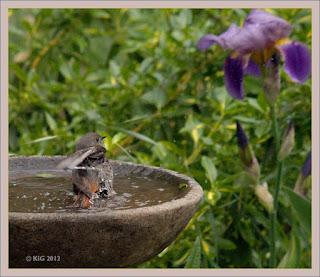 Haus-Rotschwanz an der Vogeltränke