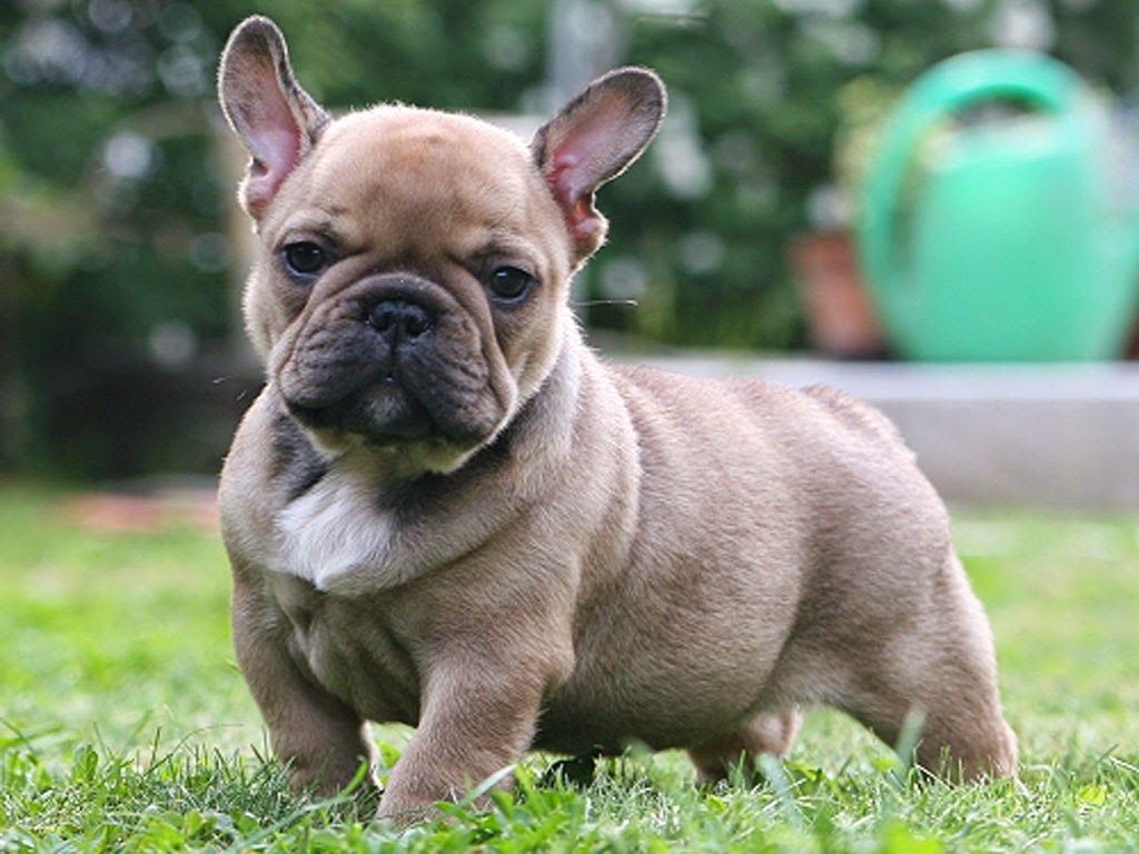 rules of the jungle the french bull dog - the french bull dog