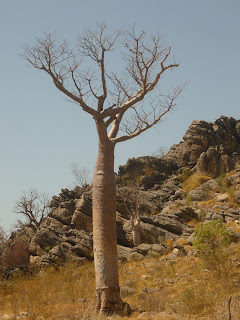 Boab Tree, Oscar Ranges, The Kimberley - Own Image