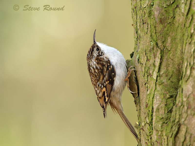 treecreeper, bird, wildlife, nature