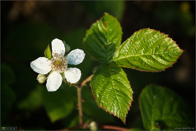 Rubus fruticosus (Bramble or blackberry flowers)