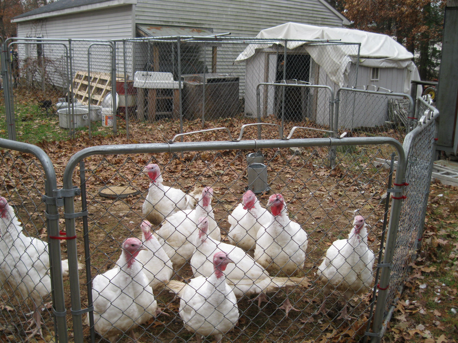 Community Chickens