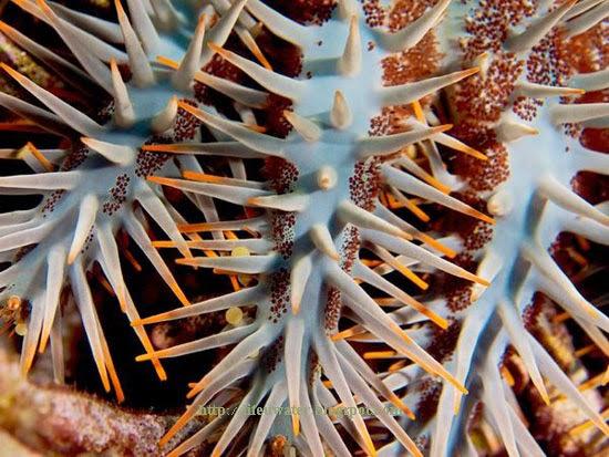 Crown-of-Thorns Sea Star