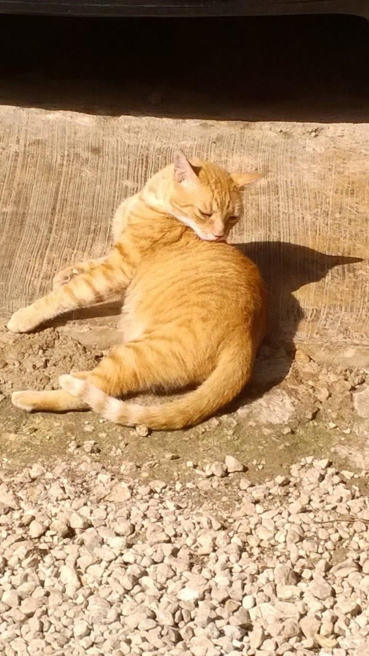 Viejo gato color de caramelo