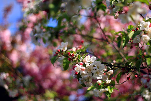 apple blossoms with pink cherry blossoms in the background