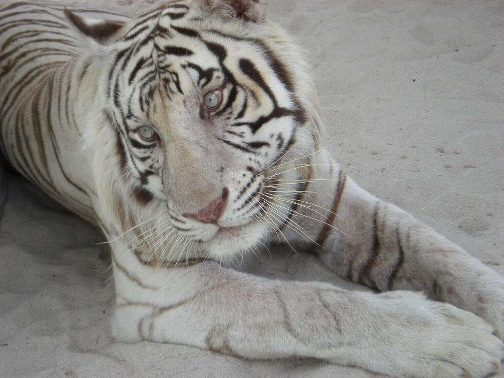 White bengal tiger wallpapers - photo#9