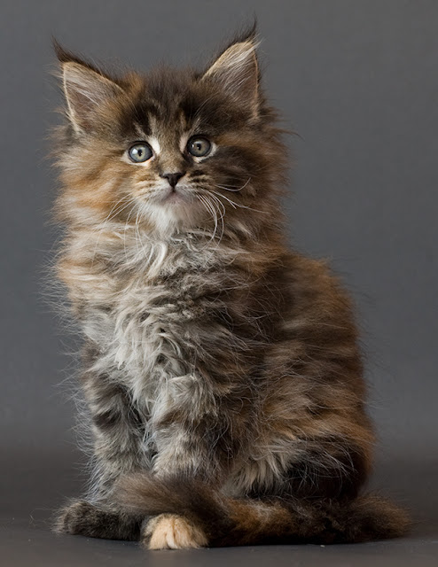 Maine Coon Cats - Pets...