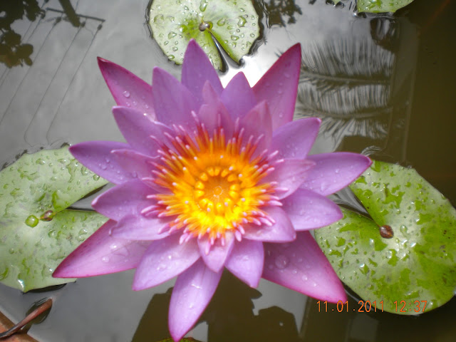 purple water lily with reflections in water