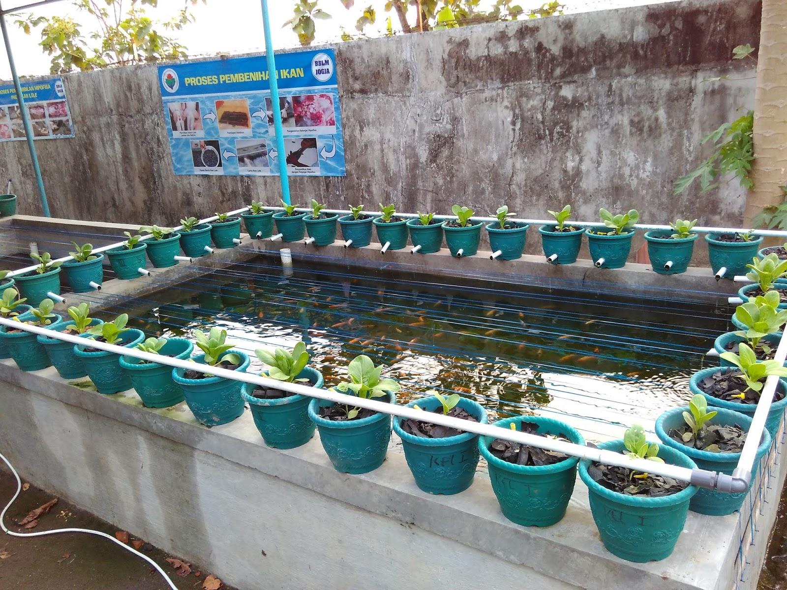 Ayo Panen Ikan dan Sayuran dengan Aquaponik ~ PSM JOGJA
