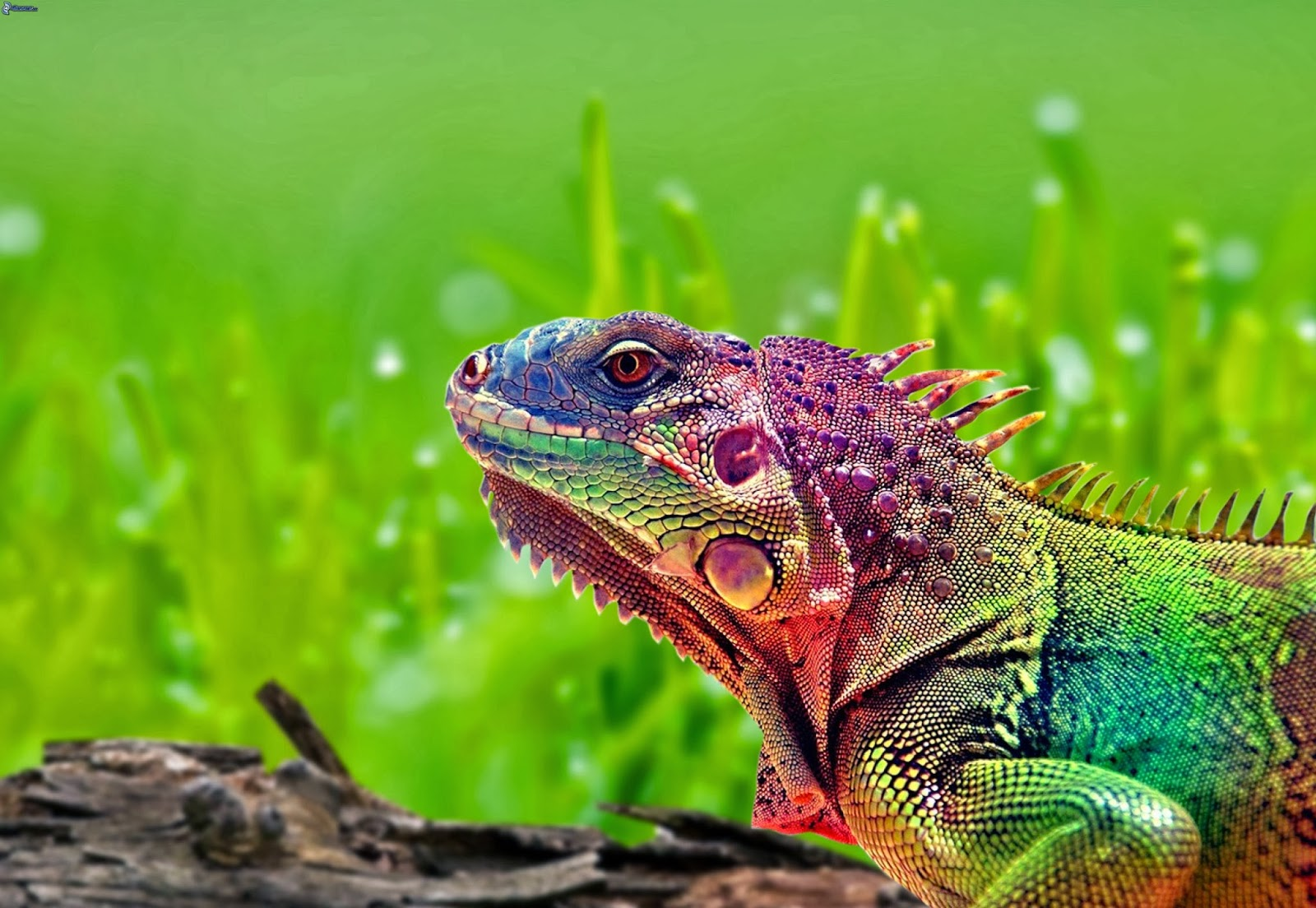 19 colorful chameleon wallpapers hd tapandaola111