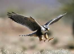 hukum makan elang dan gagak