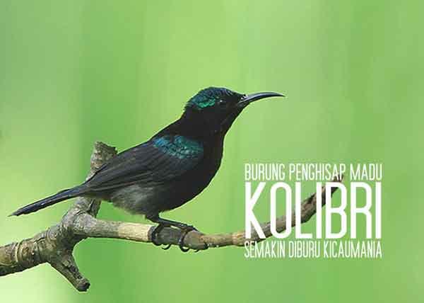 Kolibri Ninja - Jenis Burung Kolibri Yang Terkenal