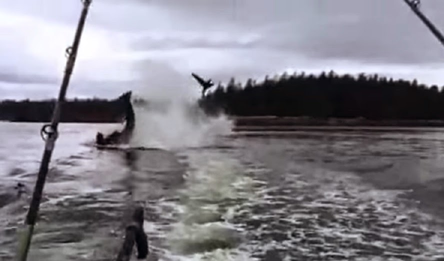 Orca flips sea lion 20 feet into the air.