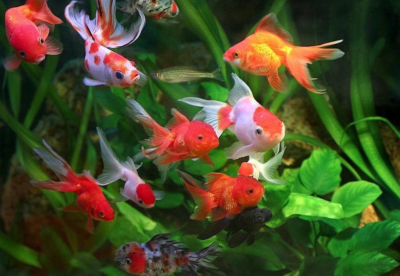Aquarium Fish Goldfish Goldfish Aquarium Is Also