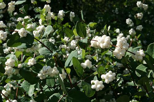 piante e fiori sinforina lucide bacche bianche e rosa