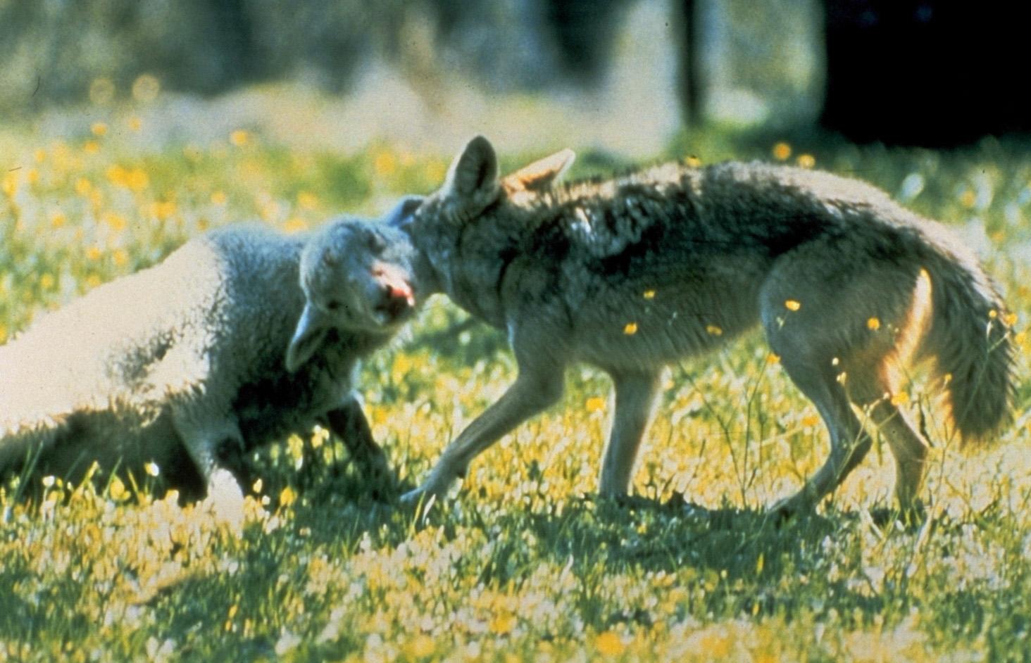 menneske drept av ulv i norge