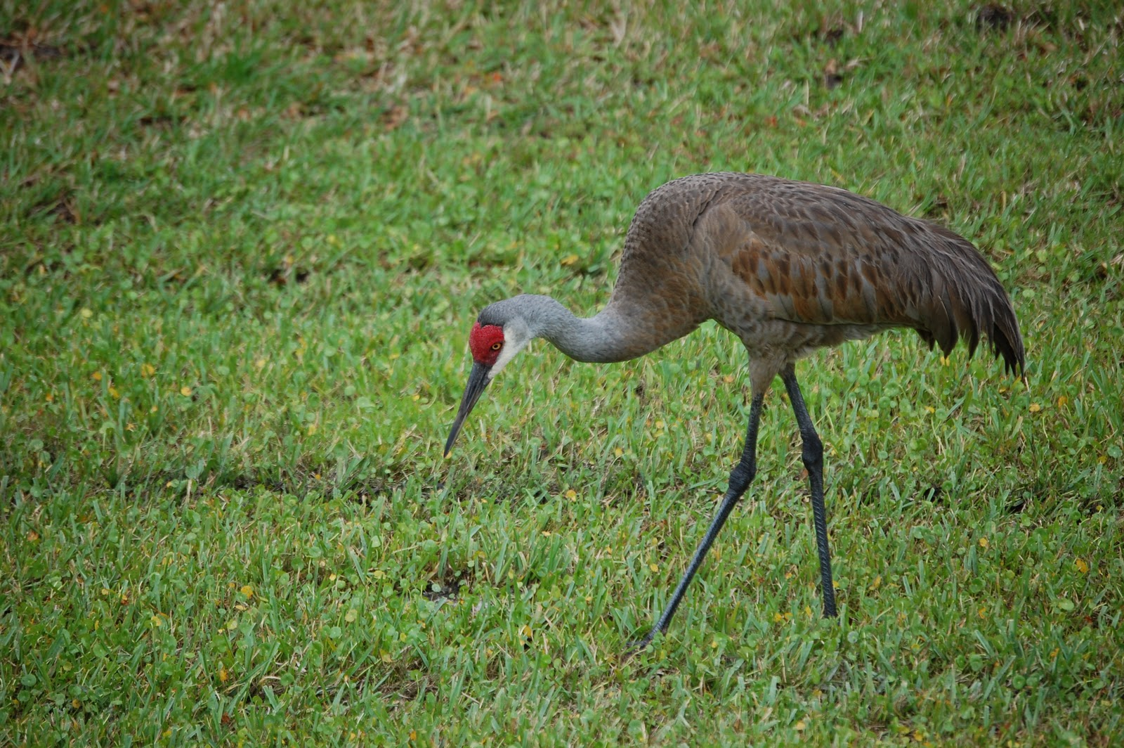 Field Notes And Photos Sandhill Cranes