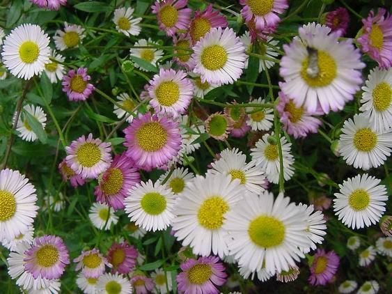 Materia Medica Homeopatica: ERIGERON CANADENSE