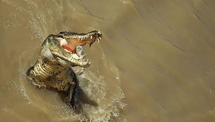 cocodrilo abriendo la boca