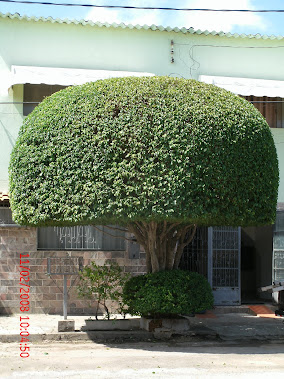 topiarias em ficus em corumbá