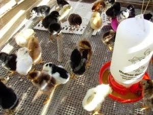 Cara Merawat Anak Ayam Bangkok Usia 1 Hingga 6 Bulan