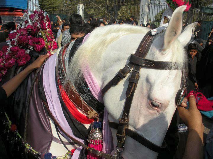 Beautiful Horse Of Imam Hussain (as) - Murtajiz (Zuljana)