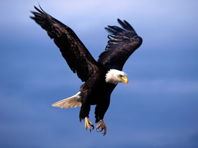 Eagle Standard Resolution Wallpaper 38
