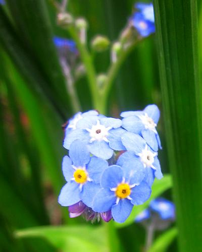 Myosotis Sylvatica, Forget-Me-Not, Victoria Blue