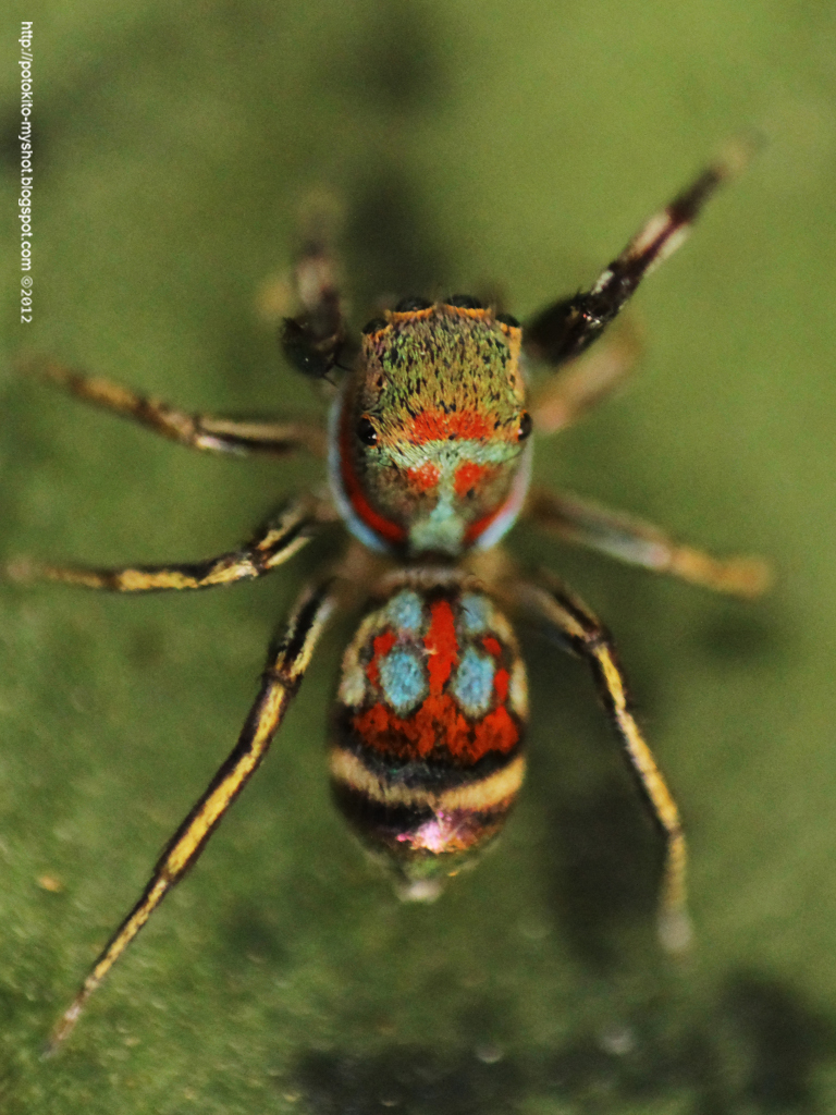 Colorful jumping spider - photo#5