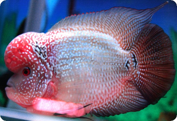 Flowerhorn The Hybrid Cichlids: King Kamfa 1
