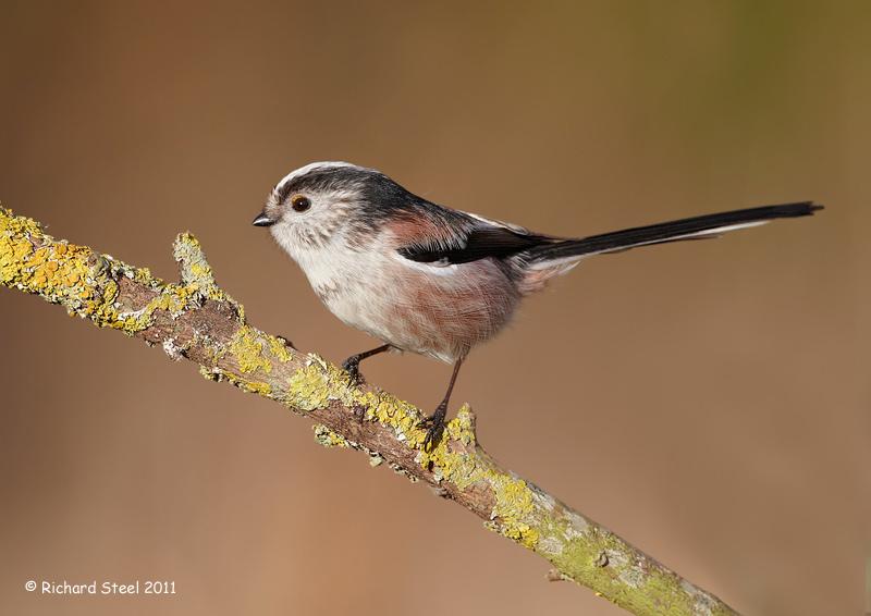 birding is fun common uk garden birds. Black Bedroom Furniture Sets. Home Design Ideas