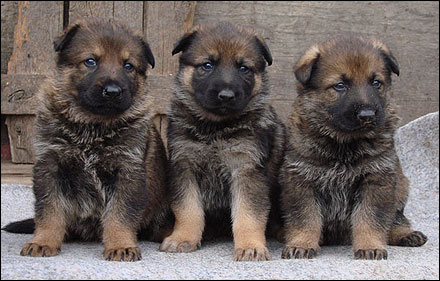 Puppies on Dog Muscle Builder   Pit Bulls  German Shepherd Puppy   Breed Info