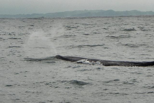Sperm Whale en Kaikoura