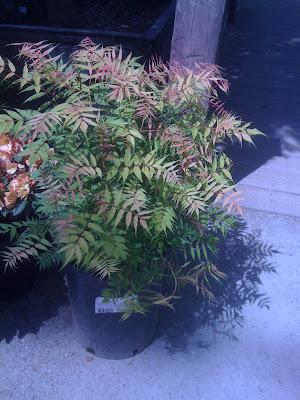 False Spirea - Sobaria sorbifolia