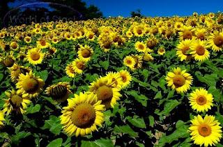 foto gambar taman bunga matahari