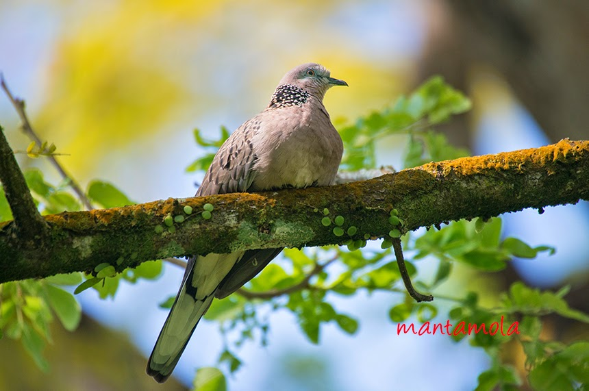 Spotted Dove ( Streptopelia chinensis )
