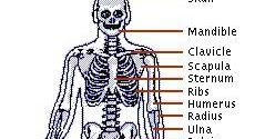 the skeletal system important questions What are three functions of the skeletal system endocrine regulation- skeleton has endocrine function via ocn and plays an important still have a question.