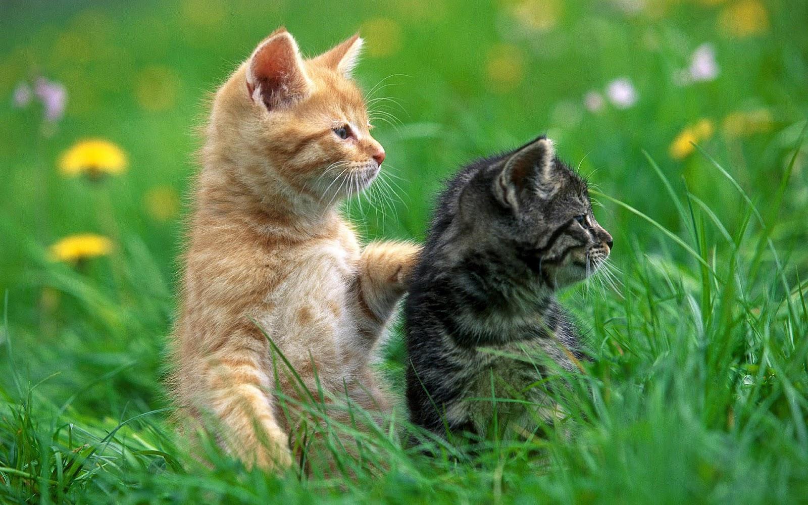 http://1.bp.blogspot.com/-CyyhdlbDVDo/UCJLy3qkaPI/AAAAAAAAAEU/sdK58uDXLEE/s1600/hd-cats-wallpaper-with-two-cats-in-the-grass-cats-wallpapers.jpg