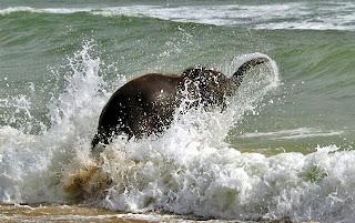 Felicidades, Jurásica !!! Cria+de+elefante+jugando+en+la+playa+2