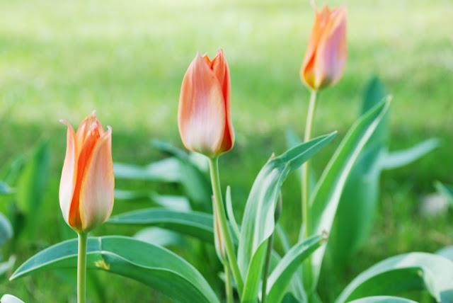 los tulipanes brotan en primavera-43-aliciavillar