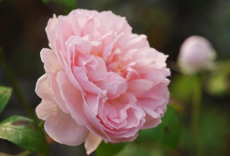 Rose som blomstrer til frosten kommer